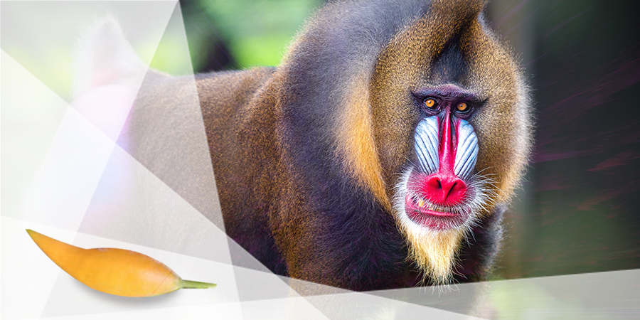 Mandrills Have A Taste For Iboga