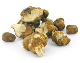 Psilocybe tampanensis Magic Truffles